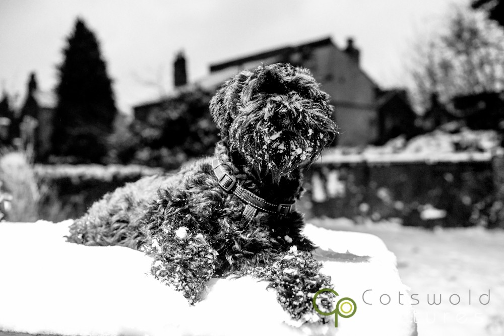 project-365-snow-day-miniature-schnuazer-dog-cotswold-pictures-wedding-photography-gloucestershire