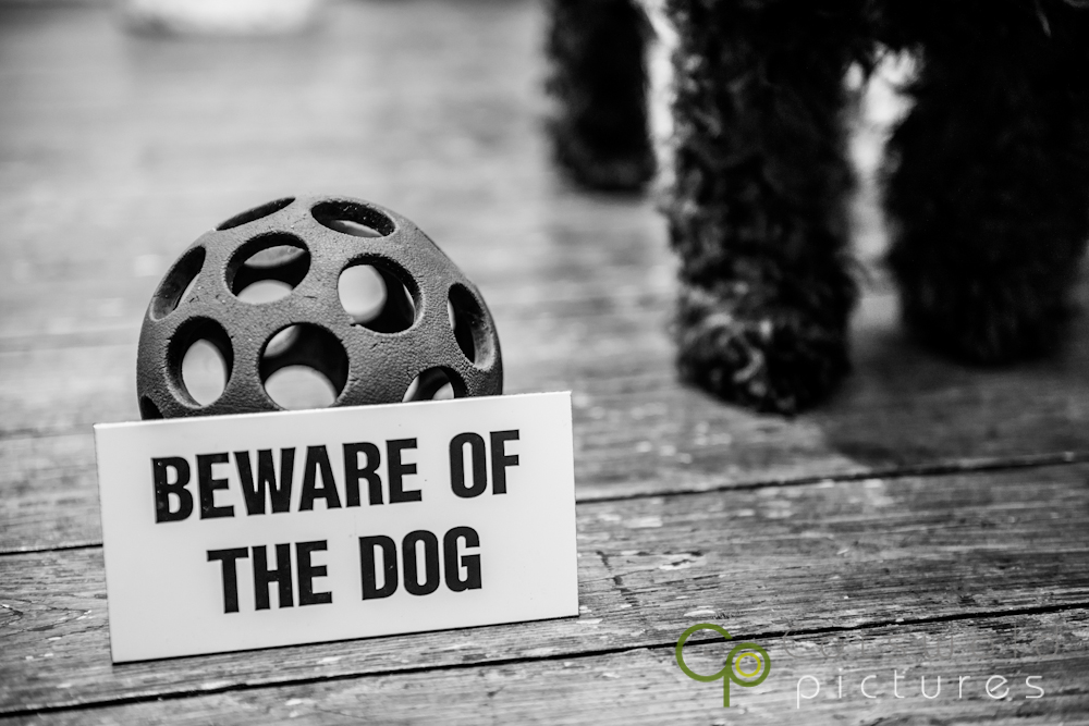 project-365-miniature-schnuazer-dog-cotswold-pictures-wedding-photography-gloucestershire